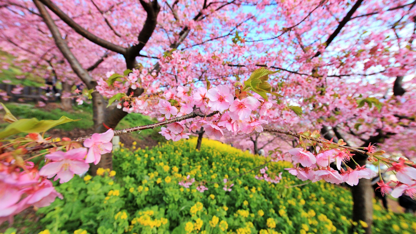 Japanese cherry tree sakura images cherry blossom hd Cherry blossom pictures