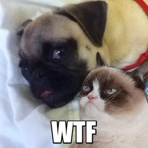 """Grumpy Cat to Pug, """"WTF"""""""