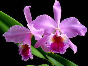The Real Dundrobium Orchid (Purple)