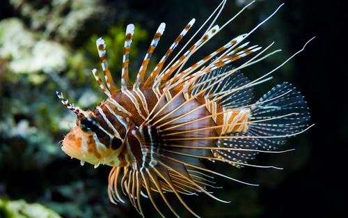 Nocturnal Mirage fond d'écran containing a lionfish, poisson-papillon called Tropical poisson