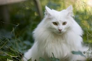 Norwegian Forest mèo