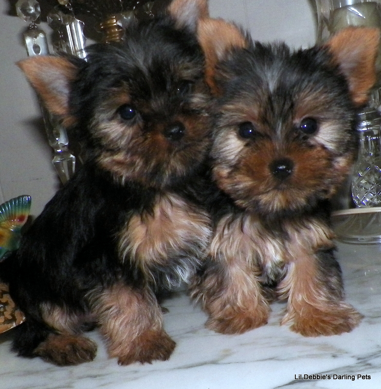 Yorkshire Terriers Images Newclubimage Hd Wallpaper And Background