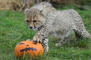 A Baby Cheetah 할로윈 2