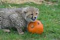 A Baby Cheetah Halloween 3