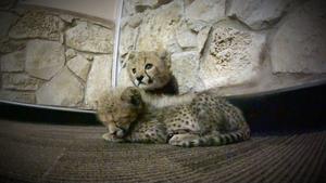 A Perfect Cub Pair
