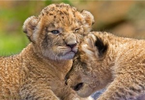 Adorable lion cubs