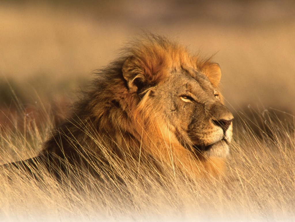 big cats images african lion hd wallpaper and background photos