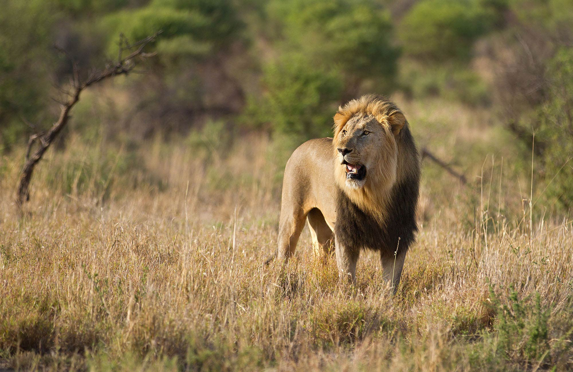 african lion research paper Make a gift to the african lion fund by visiting the university of minnesota foundation  stay up-to-date on the latest news and research from the lion center.