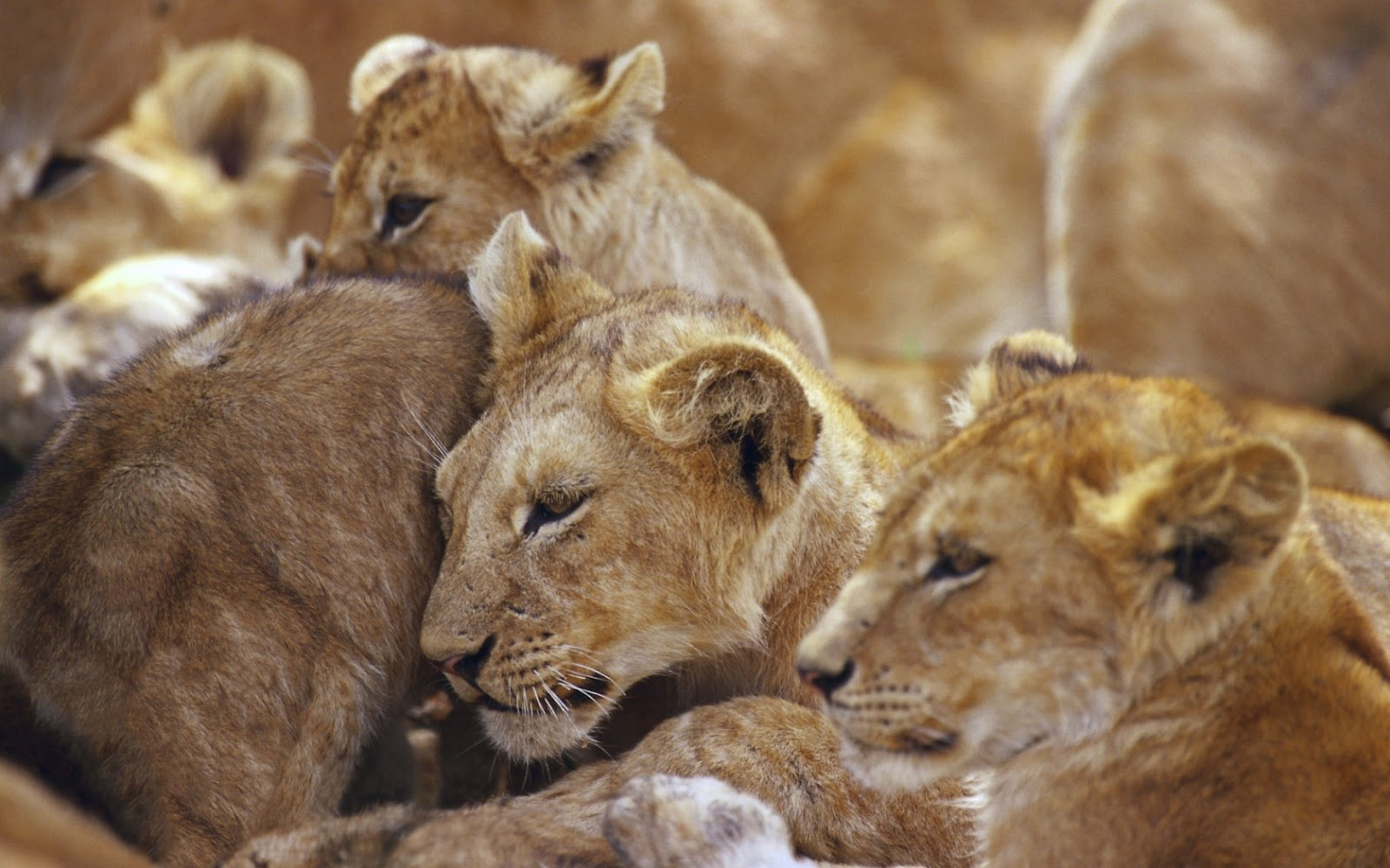big cats images african lion cubs hd wallpaper and background photos