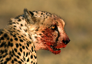 Bloody Cheetah
