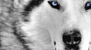 Blue eyed wolf. ( my mate)