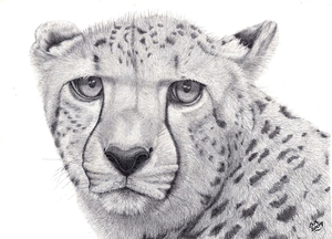 Cheetah Awesomeness