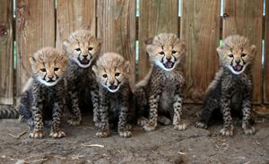 Cheetah Bunches
