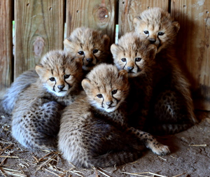 Cheetah Bunches