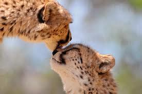 Cheetah Любовь