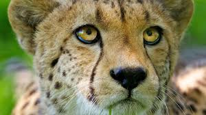 Cheetah Time