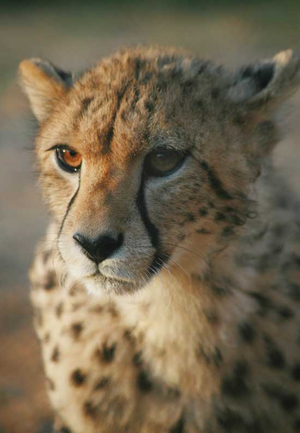 Cheetah Time