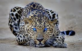 Cool Cheetah 2