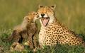 Funny Cheetah 24