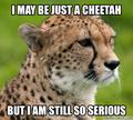 Funny Cheetah 26