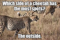Funny Cheetah 30