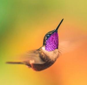 hummingbird, kolibri