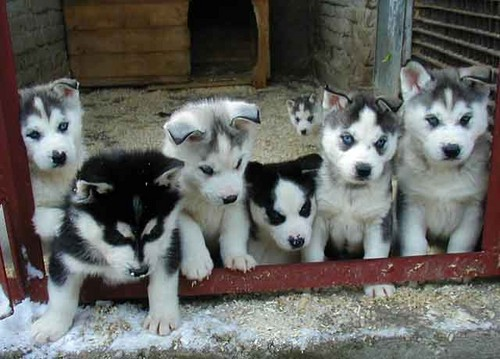 Siberian Huskies wallpaper probably with a siberian husky and a malamute entitled Husky Puppies