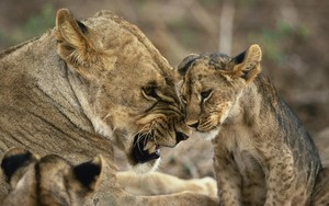 sư tử cái, lioness and cub