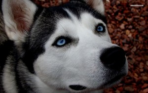 Loyal Siberian Husky