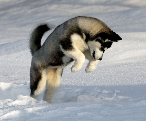 Siberian Huskies wallpaper entitled Pouncing Puppy