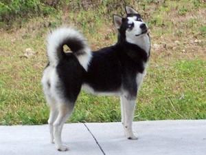 Proud Siberian Husky