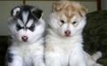Sweet Husky Pups