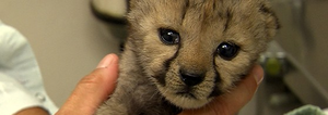 Zoomed In Cheetah Cub