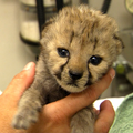 Zoomed Out Cheetah Cub
