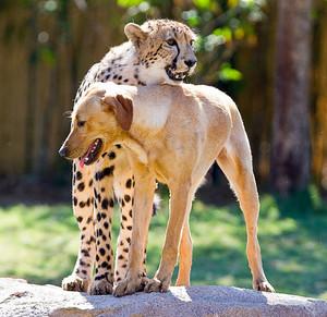 cheetah and canine companion
