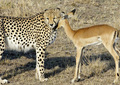 cheetah and gazelle - cheetah photo