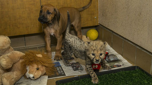 cheetah cub and canine companion