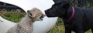 cheetah cub and canine companion