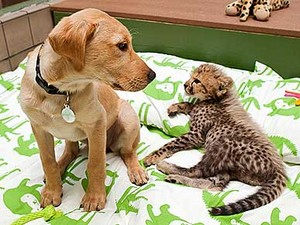 cheetah cub and companion