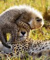 cheetah cub and mom - cheetah photo