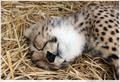cheetah cub - cheetah photo