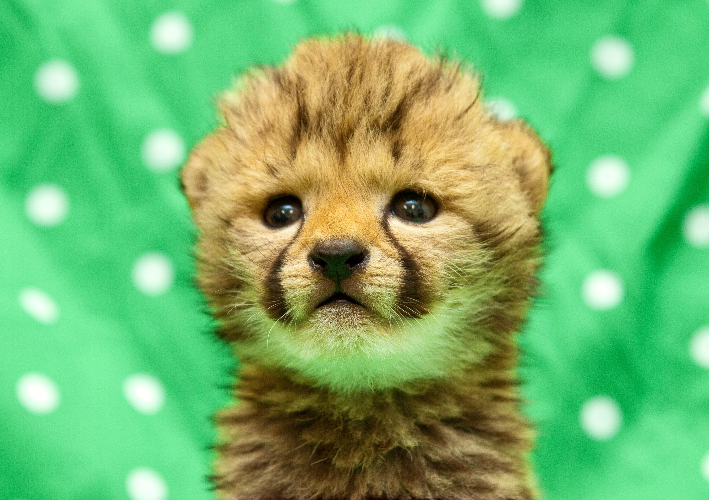 Cheetah Images Cheetah Cub Hd Wallpaper And Background Photos 37678482