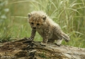 cheetah cub - cheetah photo