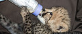 cheetah cub drinking from bottle - cheetah photo