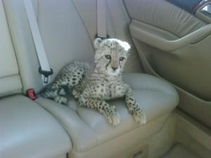 cheetah cub going for a ride