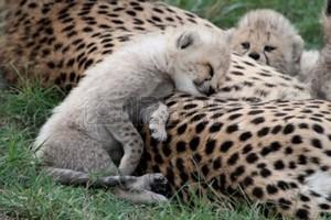 cheetah cub napping