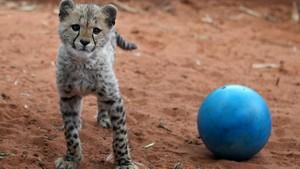 cheetah cub playing