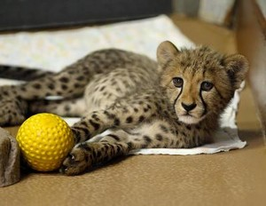 cheetah cub playing with a ball