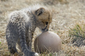 cheetah cub playing with a ball - cheetah photo