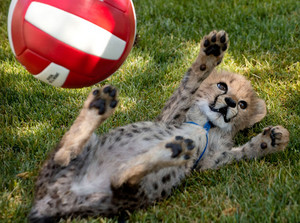 cheetah cub playing with ball